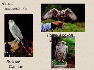 Фауна заповедника Ловчий Сапсан Ловчий сокол Балобан