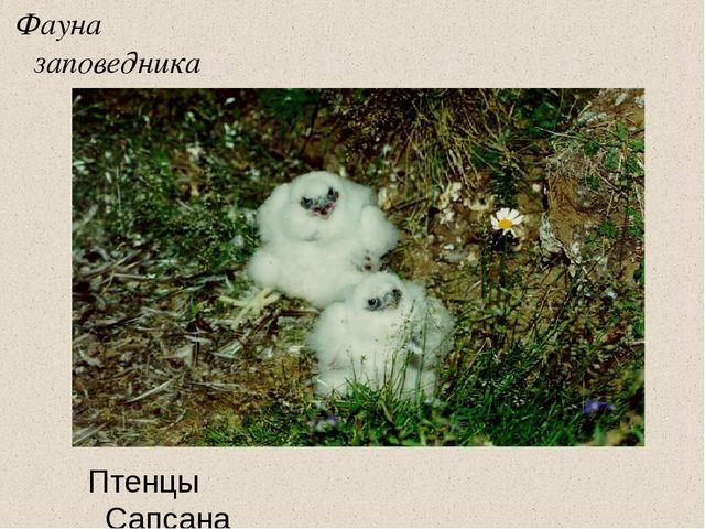 Фауна заповедника Птенцы Сапсана