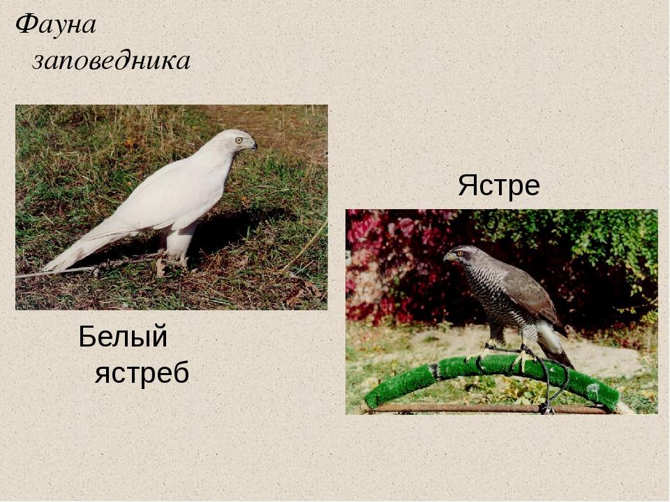 Фауна заповедника Белый ястреб Ястреб