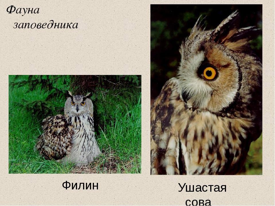 Фауна заповедника Филин Ушастая сова