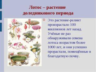 Лотос – растение доледникового периода Это растение-реликт произрастало 100 м