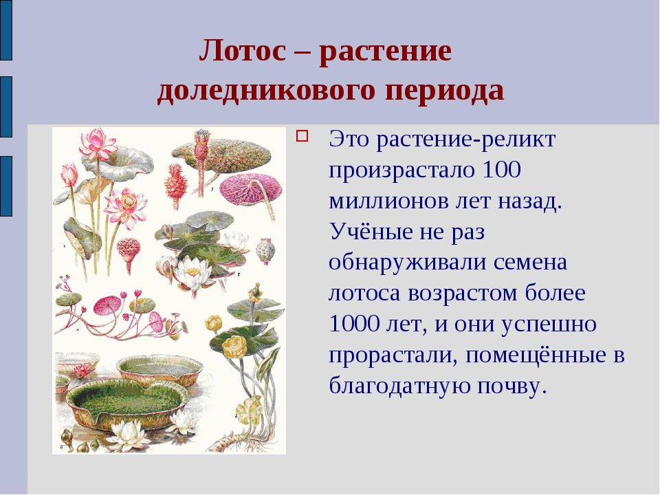Лотос – растение доледникового периода Это растение-реликт произрастало 100 м...