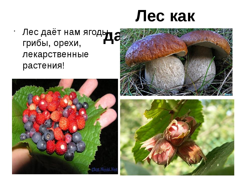 Лес даёт нам ягоды, грибы, орехи, лекарственные растения! Лес как дар