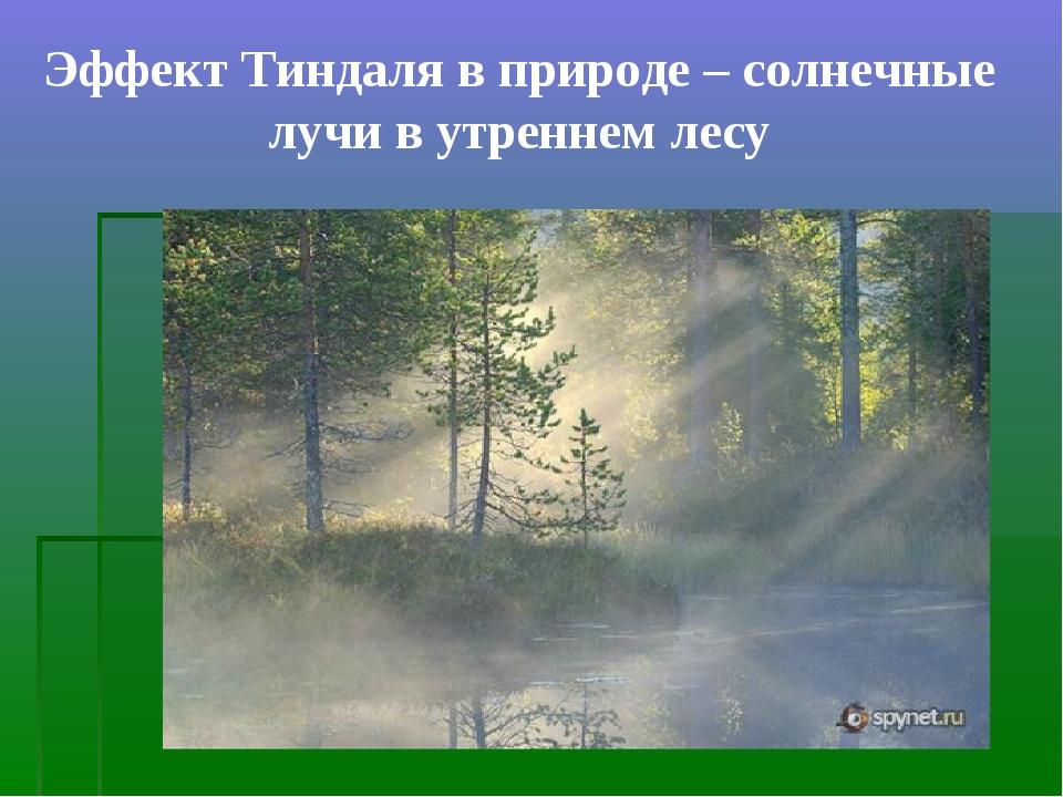 Эффект Тиндаля в природе – солнечные лучи в утреннем лесу