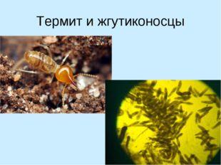 Термит и жгутиконосцы