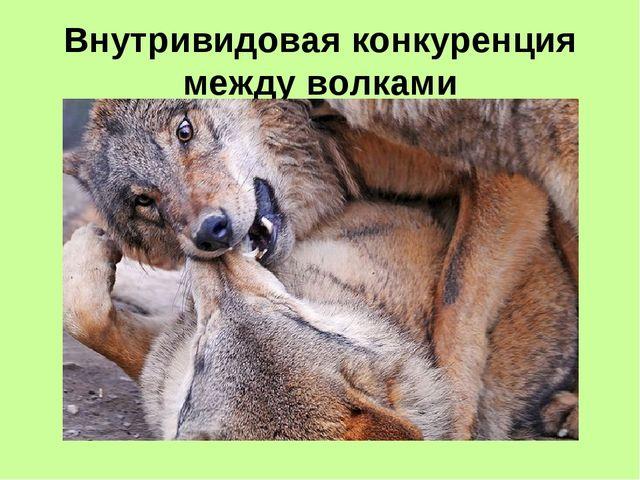 Внутривидовая конкуренция между волками
