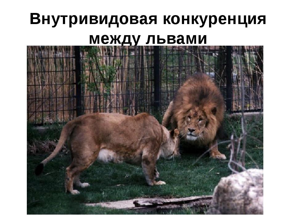 Внутривидовая конкуренция между львами