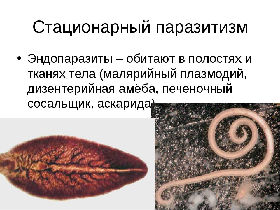 Стационарный паразитизм Эндопаразиты – обитают в полостях и тканях тела (маля...