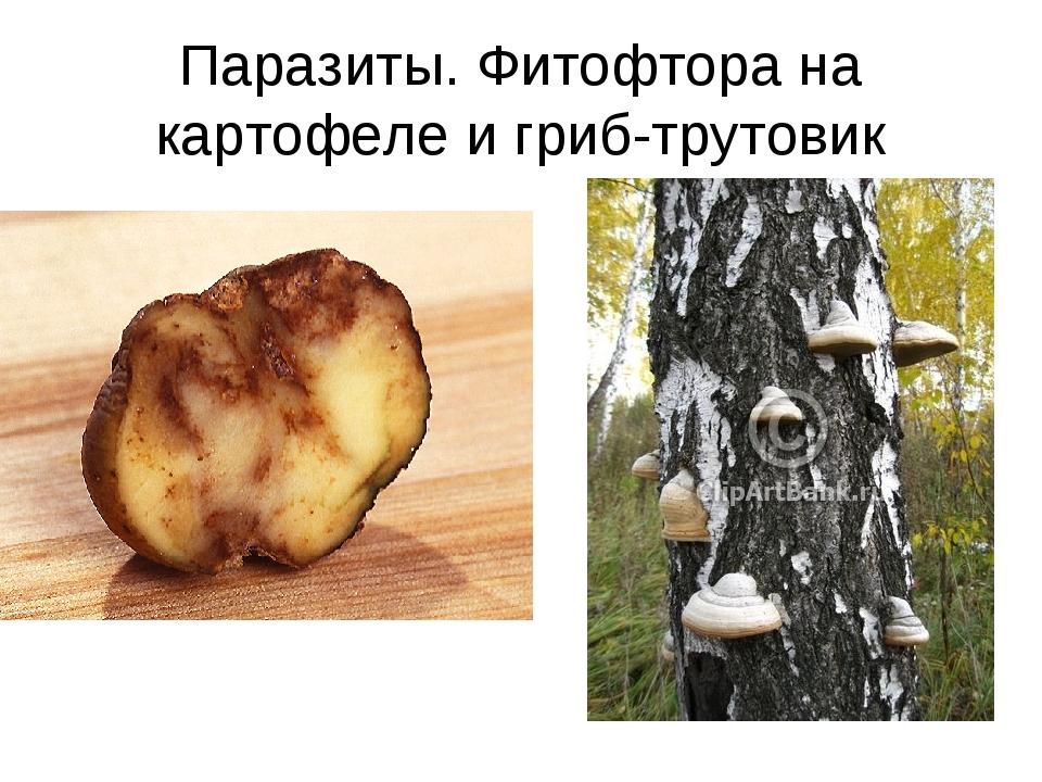 Паразиты. Фитофтора на картофеле и гриб-трутовик