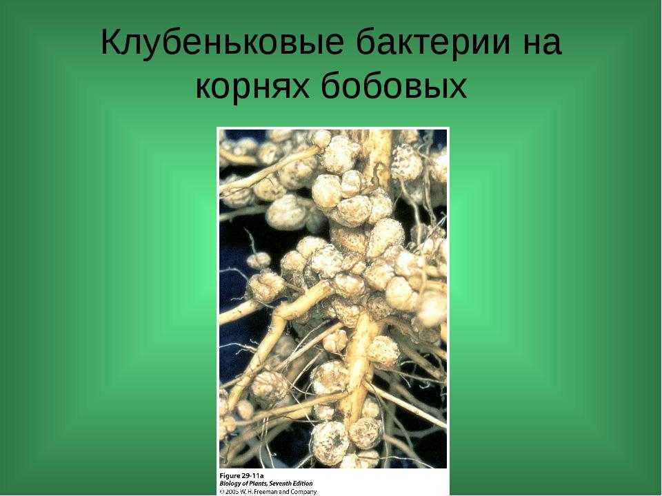 Клубеньковые бактерии на корнях бобовых