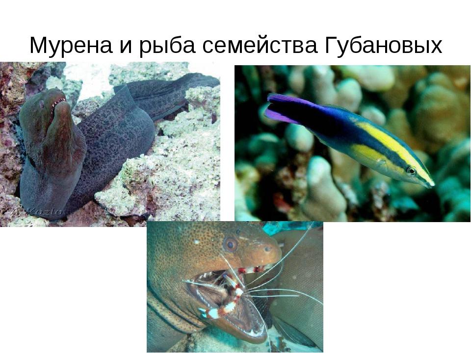 Мурена и рыба семейства Губановых