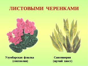 ЛИСТОВЫМИ ЧЕРЕНКАМИ Узумбарская фиалка Сансевиерия (сентполия) (щучий хвост)