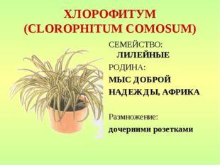 ХЛОРОФИТУМ (CLOROPHITUM COMOSUM) СЕМЕЙСТВО: ЛИЛЕЙНЫЕ РОДИНА: МЫС ДОБРОЙ НАДЕЖ