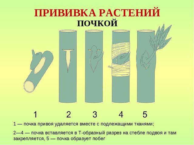 ПРИВИВКА РАСТЕНИЙ ПОЧКОЙ 1 — почка привоя удаляется вместе с подлежащими ткан...