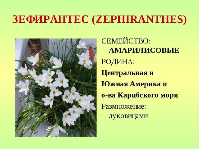 ЗЕФИРАНТЕС (ZEPHIRANTHES) СЕМЕЙСТВО: АМАРИЛИСОВЫЕ РОДИНА: Центральная и Южная...