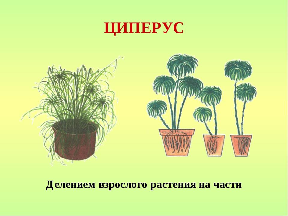 ЦИПЕРУС Делением взрослого растения на части
