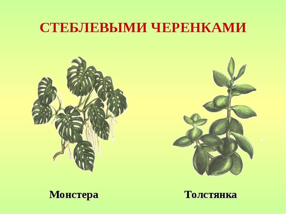 СТЕБЛЕВЫМИ ЧЕРЕНКАМИ Монстера Толстянка