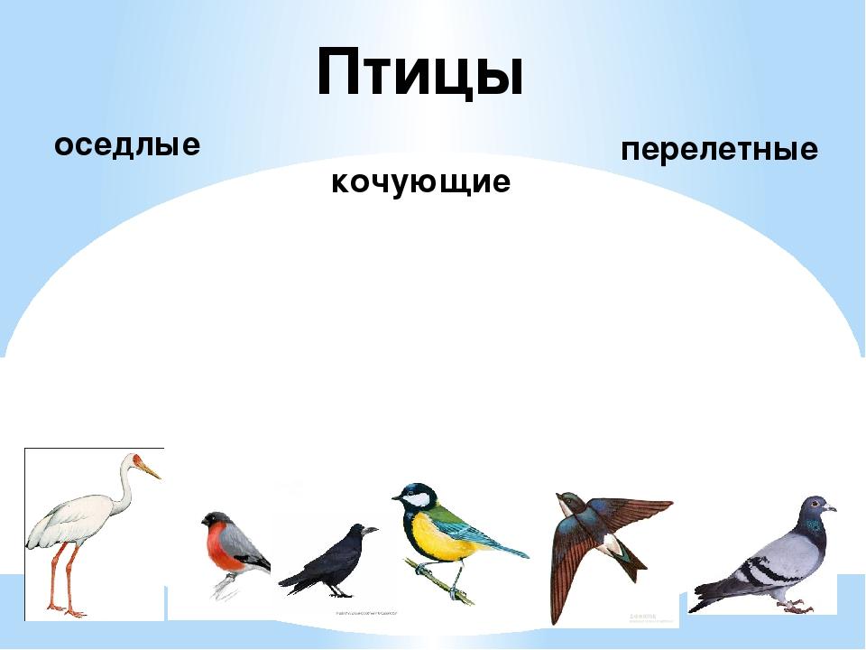 Птицы оседлые кочующие перелетные