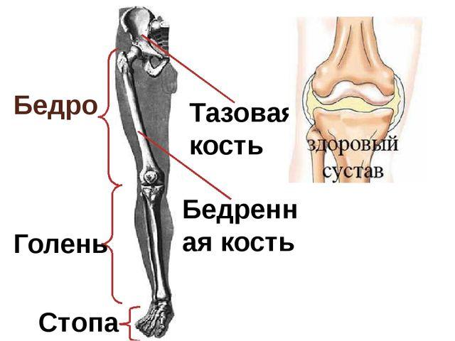 Бедро Голень Стопа Тазовая кость Бедренная кость