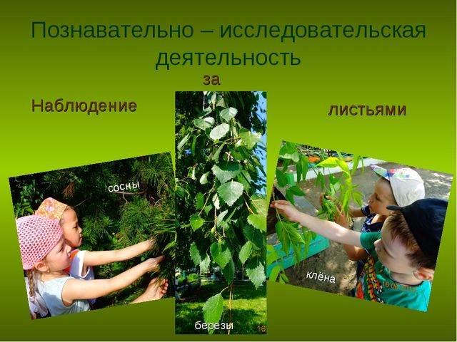 Познавательно – исследовательская деятельность Наблюдение за листьями сосны к...