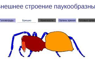 Внешнее строение паукообразных Брюшко Головогрудь Органы зрения Конечности Ро