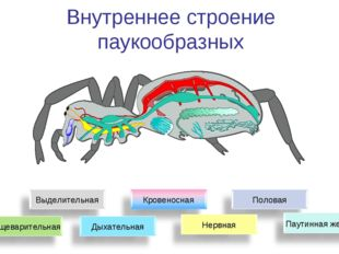 Внутреннее строение паукообразных