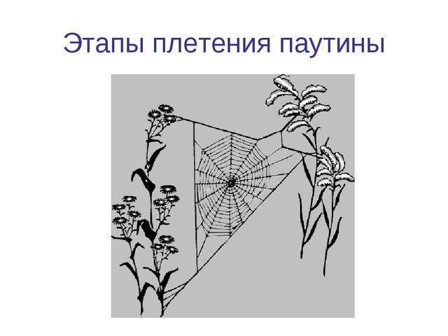 Этапы плетения паутины