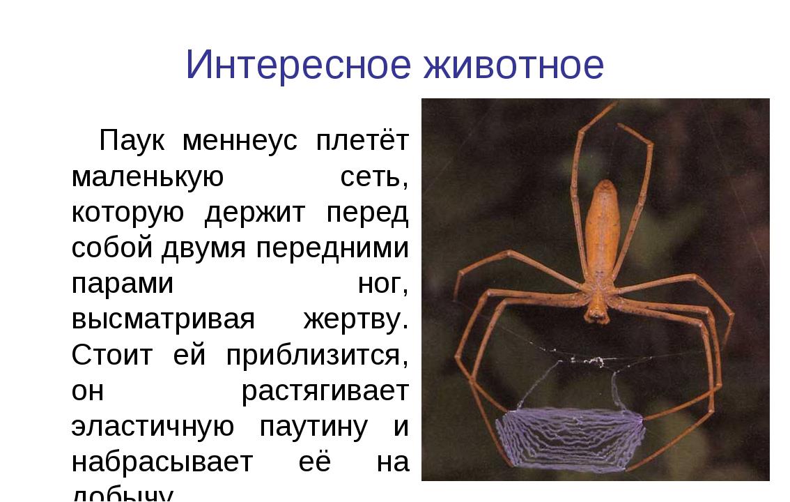 Интересное животное Паук меннеус плетёт маленькую сеть, которую держит перед...