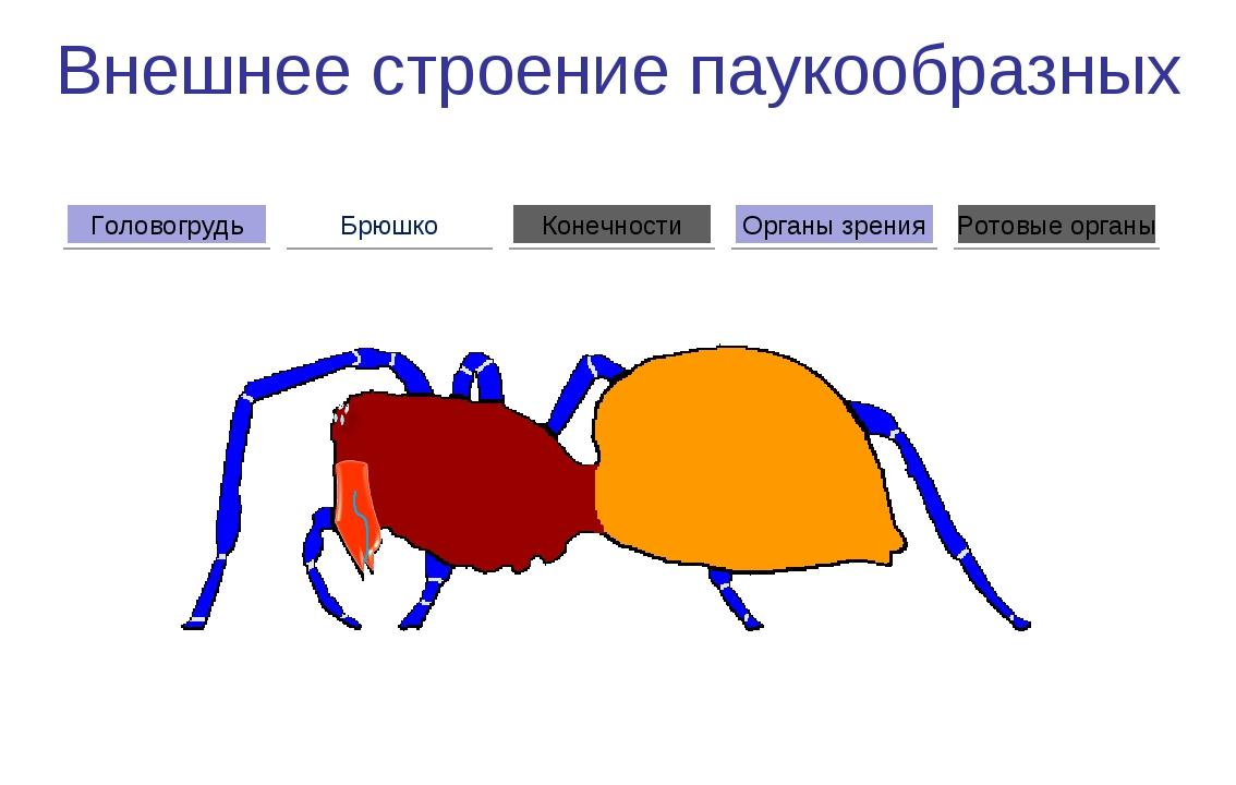 Внешнее строение паукообразных Брюшко Головогрудь Органы зрения Конечности Ро...