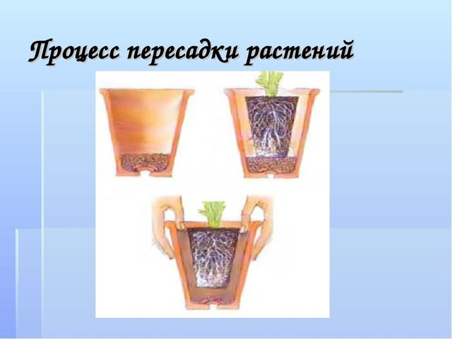 Процесс пересадки растений
