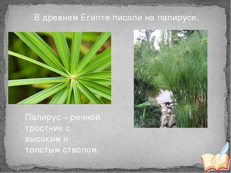 Папирус – речной тростник с высоким и толстым стволом. В древнем Египте писа...