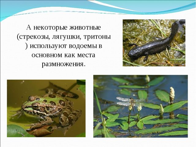 А некоторые животные (стрекозы, лягушки, тритоны ) используют водоемы в основ...