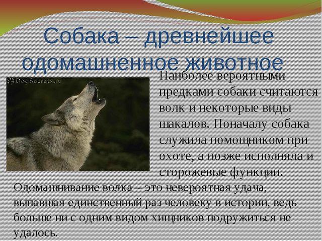 Собака – древнейшее одомашненное животное Наиболее вероятными предками собаки...