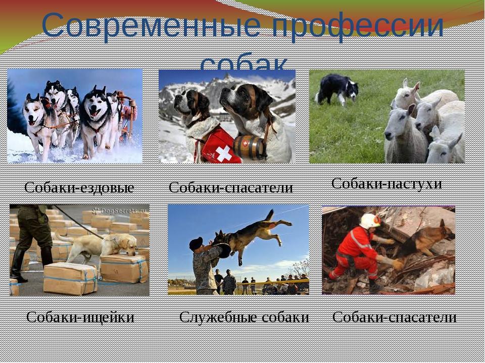 Современные профессии собак Собаки-спасатели Собаки-ездовые Собаки-пастухи Со...