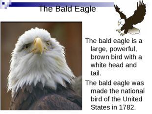 The Bald Eagle The bald eagle is a large, powerful, brown bird with a white h