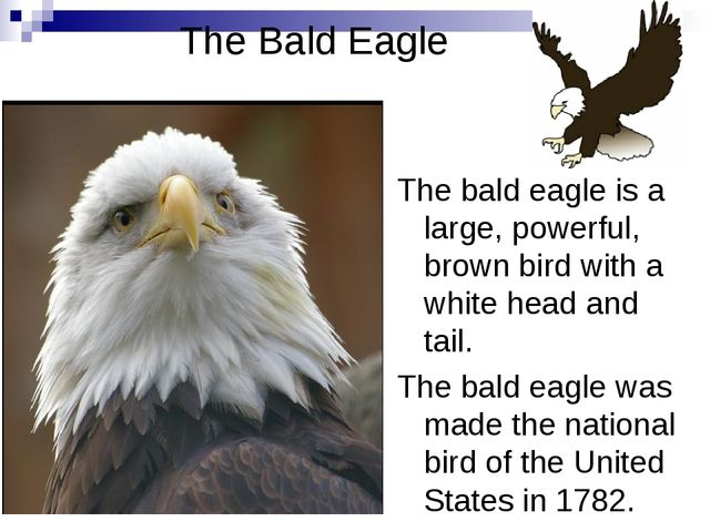 The Bald Eagle The bald eagle is a large, powerful, brown bird with a white h...