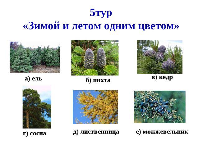 5тур «Зимой и летом одним цветом» а) ель б) пихта в) кедр г) сосна д) листвен...