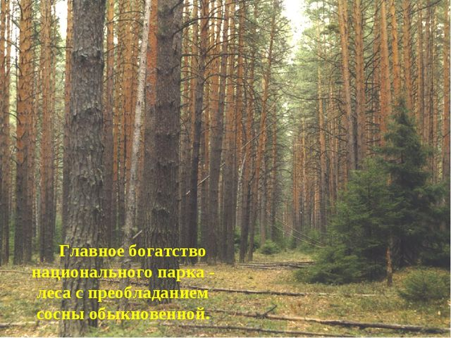 Главное богатство национального парка - леса с преобладанием сосны обыкновен...