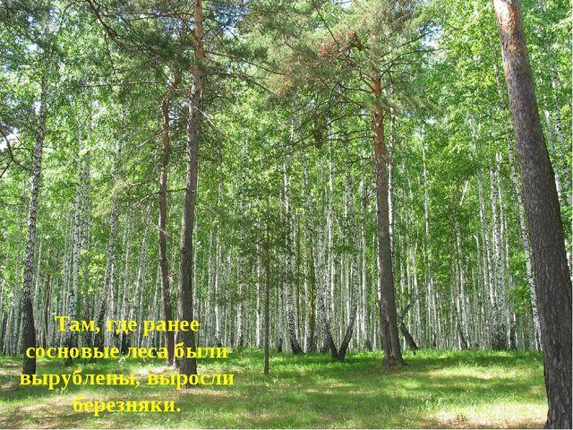 Там, где ранее сосновые леса были вырублены, выросли березняки.
