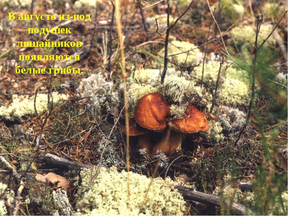 В августе из-под подушек лишайников появляются белые грибы.