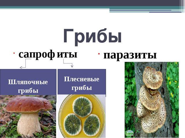 Грибы сапрофиты паразиты Шляпочные грибы Плесневые грибы