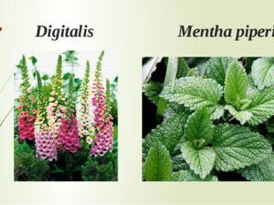Digitalis Mentha piperita