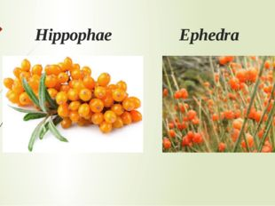 Hippophae Ephedra