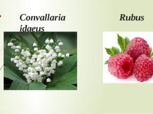 Convallaria Rubus idaeus