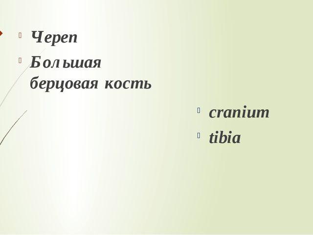 Череп Большая берцовая кость cranium tibia