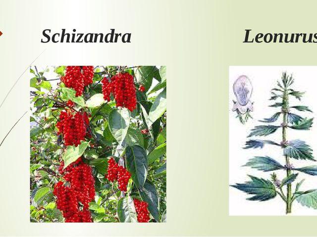 Schizandra Leonurus