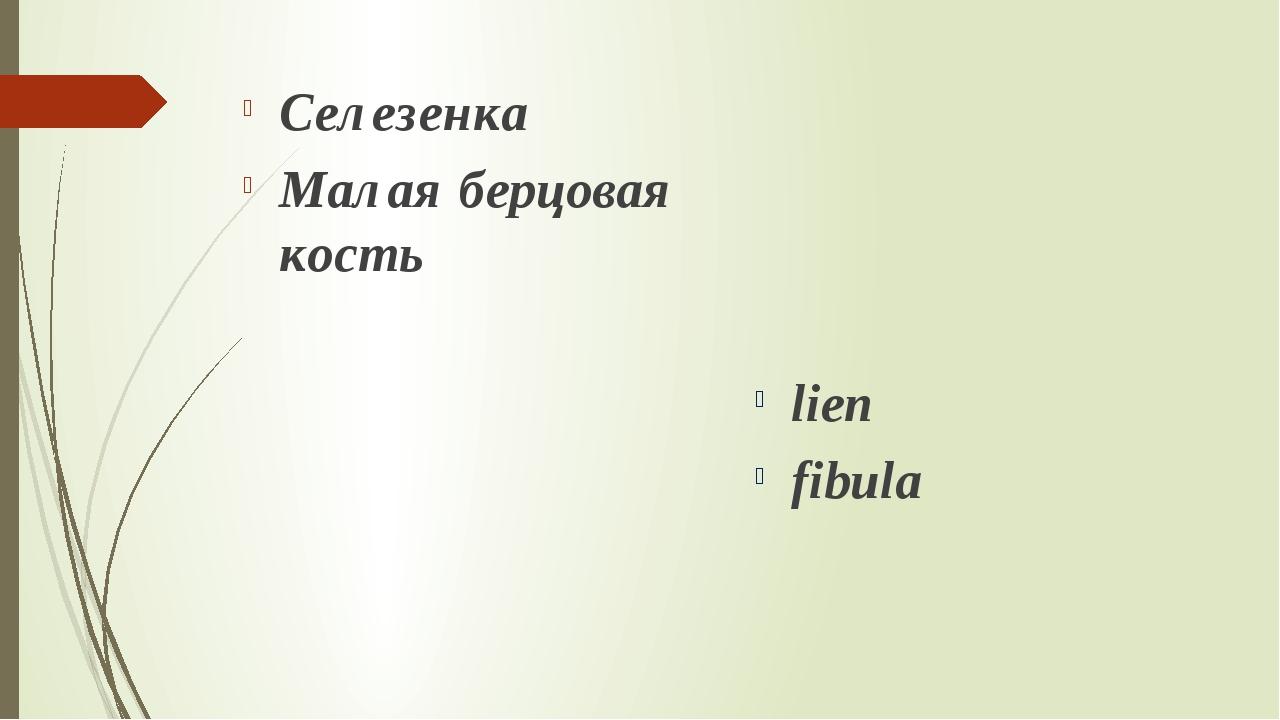 Селезенка Малая берцовая кость lien fibula