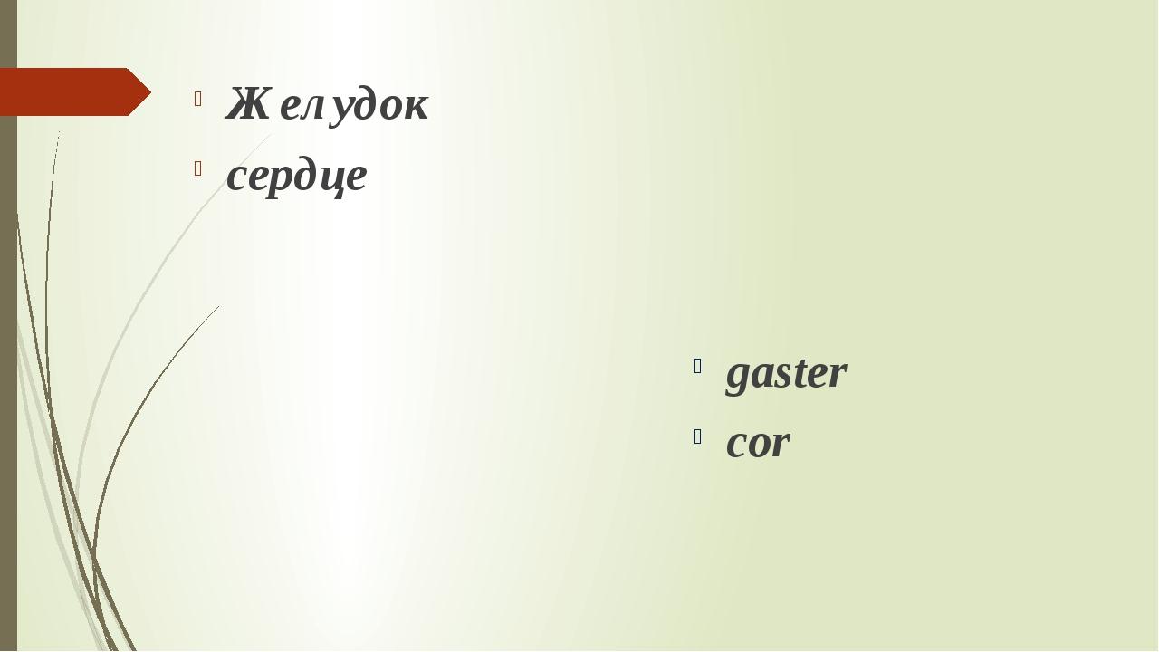 Желудок сердце gaster cor