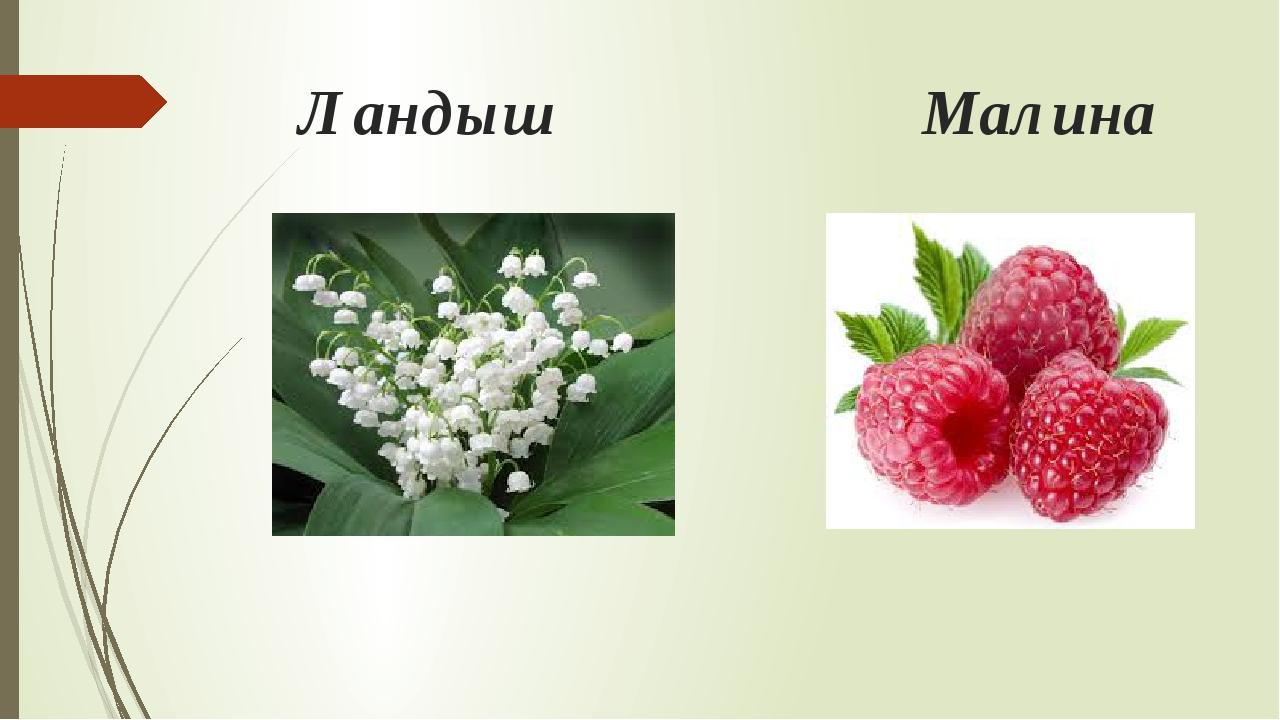 Ландыш Малина