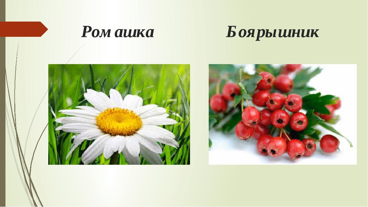 Ромашка Боярышник